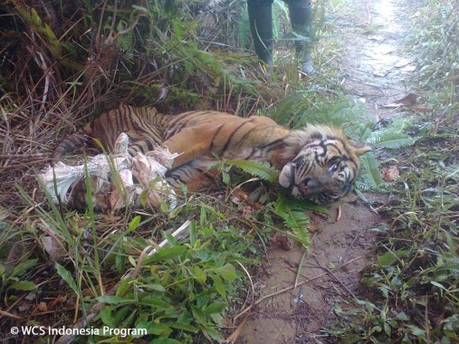 Kurangi Risiko Kematian Harimau Sumatera, 17 Dokter Hewan Ikuti Pelatihan di Lembah Hijau