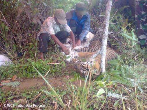 Desa-Desa di Lampung Ini Sering Terjadi Konflik Harimau Sumatera dan Manusia
