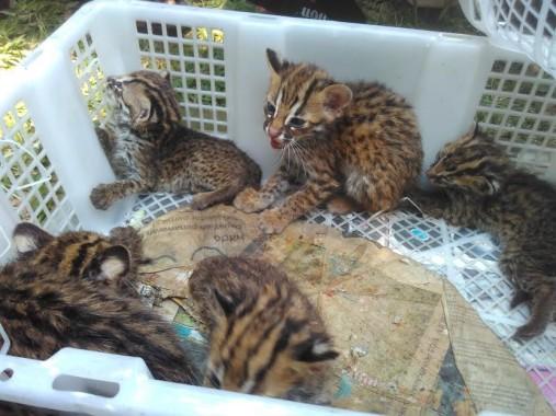 Barang bukti macan akar yang diterima BKSDA Lampung | Andi/jejamo.com