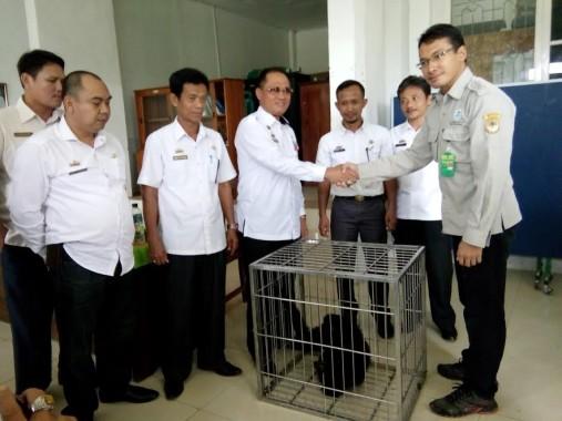 2 Ekor Siamang di Lampung Utara Kembali Diserahkan ke BKSDA Bengkulu