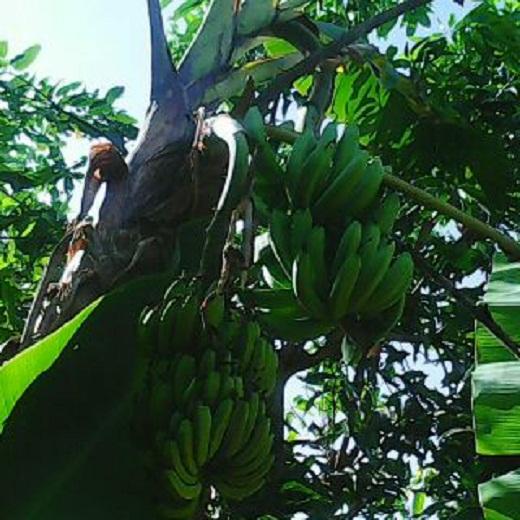 Pohon Pisang Milik Nurdianto Warga Ringinsari Pringsewu Bertandan Dua