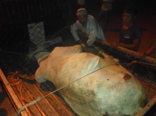Sapi ngamuk dan kabur tadi malam dari Masjid Al Ikhsan, Mekarsari, Kedamaian, Bandar Lampung. | Andi Apriyadi/Jejamo.com