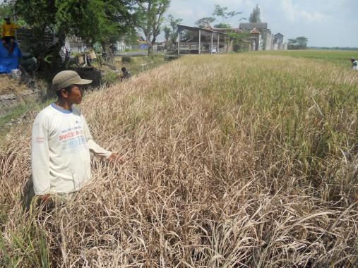 Diserang Hama Wereng, 27 Hektar Padi di Karya Sakti Lampung Utara Gagal Panen