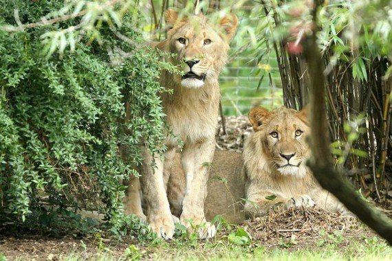2 Singa Kebun Binatang Lepas, Pengunjung Dievakuasi