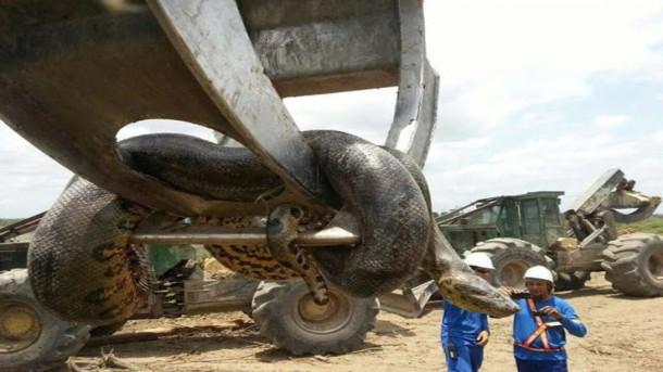 ular-anakonda-10-meter
