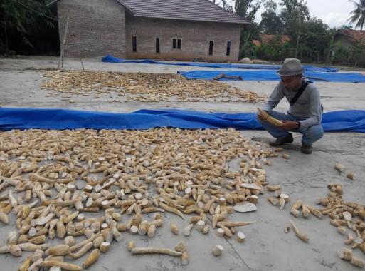Ari salah satu petani singkong di Kecamatan Batanghari Lampung Timur | Parman/jejamo.com