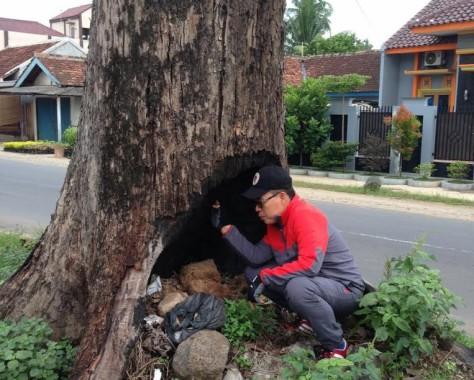 pohon-mahoni-bersejarah-mati