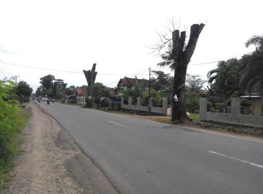 Lima Pohon Mahoni Bersejarah di Pekalongan Lampung Timur Mati karena Pemangkasan dari Dinas Pasar