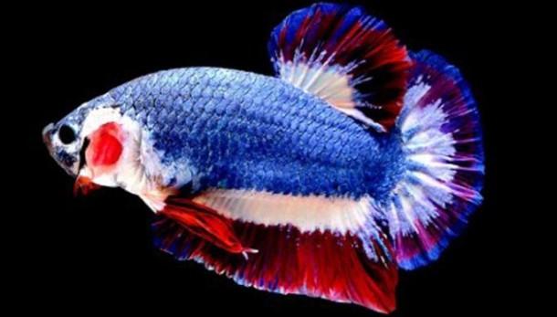 Ikan Cupang Termahal di Dunia Ini Laku Terjual Rp 20 Juta