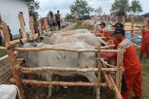 Lampung Miliki 219 Orang Bersertifikat yang Bisa Bikin Sapi Hamil Tanpa Kawin