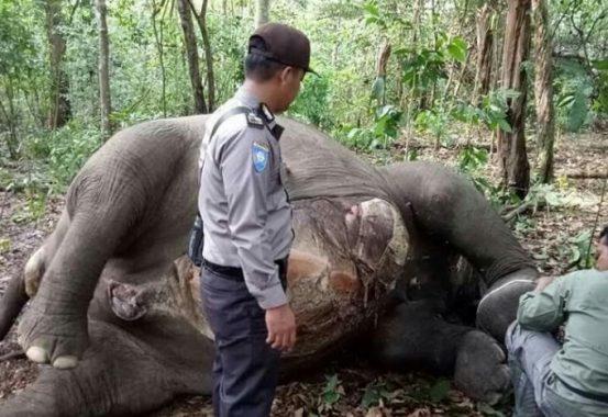Kapolda Lampung Perintahkan Buru Pelaku Pembunuhan Gajah Betina di Taman Nasional Way Kambas