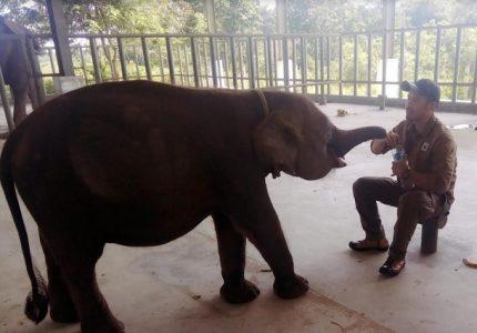 Ini Dia Perkembangan Erin Gajah Berbelalai Buntung Di RSG Rubini Atmawijaya Way Kambas
