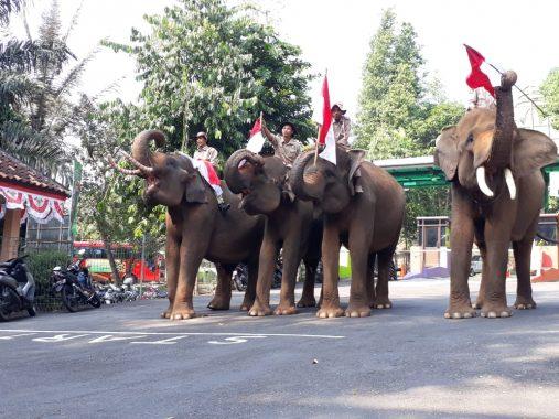 Unik, di Lembah Hijau, Petugas Pengibar Benderanya Gajah Sumatera