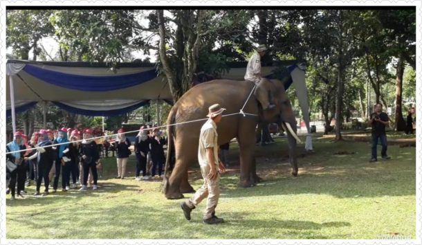 Mau Coba Tarik Tambang Sama Gajah Sumatera, Yuk ke Lembah Hijau