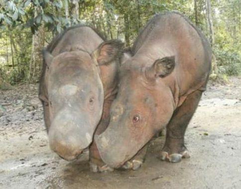 Menengok Badak Sumatera di Suaka Rhino Sumatera di Taman Nasional Way Kambas