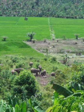 Gajah Liar Resahkan Warga Lampung Barat, Sudin Minta Bantuan Dirjen KSDAE