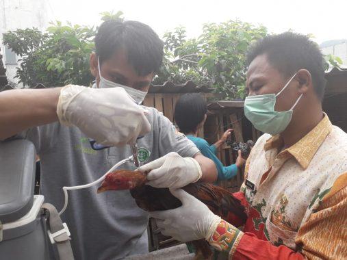 Vaksinasi Massal Ayam, Dinas Pertanian Bandar Lampung Jamin Virus Flu Burung Tak Meluas ke Warga