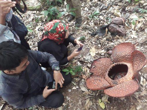 Bunga Padma Rafflesia Arnoldii Tumbuh Subur di Taman Nasional Bukit Barisan Selatan
