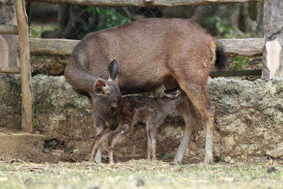 Anak Rusa Sambar Lahir Selamat di Taman Wisata dan Satwa Lembah Hijau