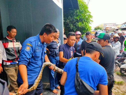 Cari Kehangatan, Sanca Batik Santuy di Gudang Jagung, Pemadam Kebakaran Turun Tangan