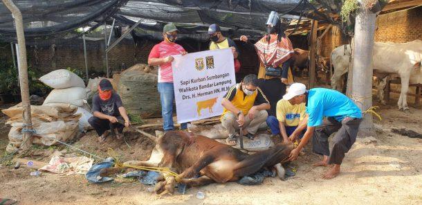 Herman HN Salurkan 3 Ekor Sapi Kurban ke PKS Bandar Lampung