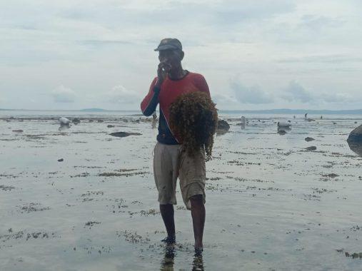 Memanen Rumput Laut Liar di Pantai Karang Putih Tanggamus